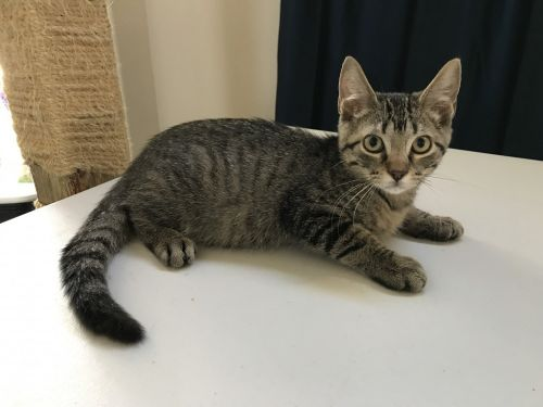Domestic Shorthaired Cat Cats for sale in Houston, TX, USA. price -USD