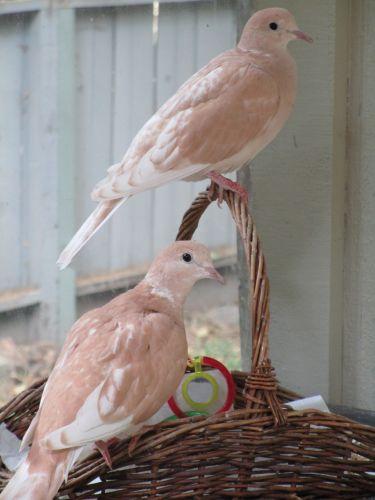 Dove Birds for sale in Nevada City, CA 95959, USA. price 10USD