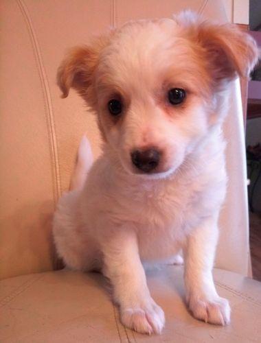 Doxiepoo Puppies for sale in Clio Rd, Clio, MI, USA. price 400USD