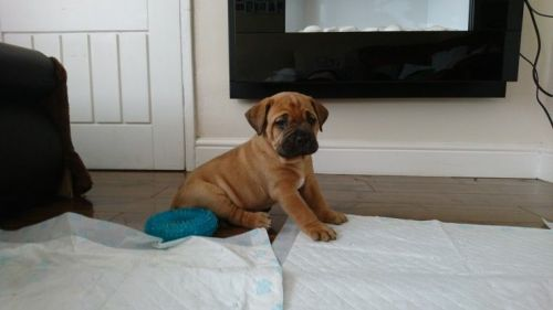 Drentse Patrijshond Puppies for sale in Indianapolis, IN, USA. price -USD