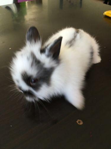 Dutch rabbit Rabbits for sale in San Gabriel, CA, USA. price 75USD