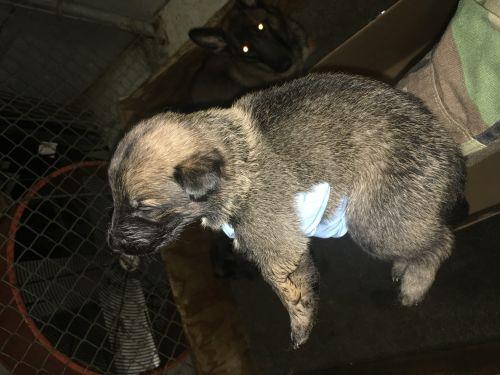 Dutch Shepherd Puppies for sale in Norfolk, VA, USA. price 1500USD