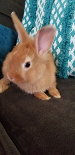 Dwarf Rabbit Rabbits for sale in Temescal Valley, CA 92883, USA. price 30USD