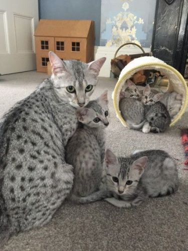 Egyptian Mau Cats for sale in Indianapolis, IN, USA. price -USD