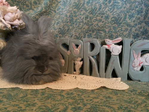 English Angora Rabbits for sale in Mentor, OH 44060, USA. price 175USD