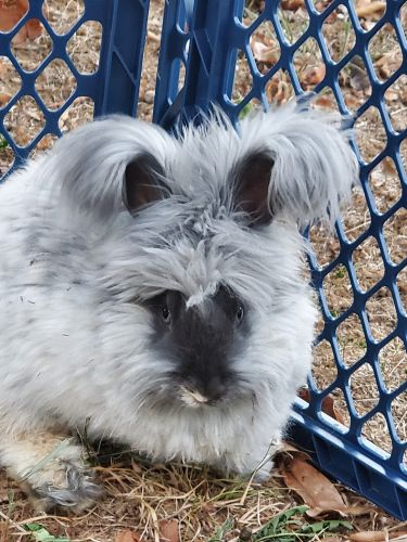 New Zealand Rabbit Rabbits Sale Sequatchie Tn 82