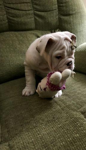 English Bulldog Puppies for sale in Las Vegas, NV, USA. price 2500USD