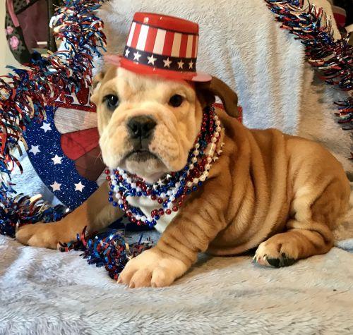 English Bulldog Puppies Sale   Chicago, IL #6335   Hoobly US
