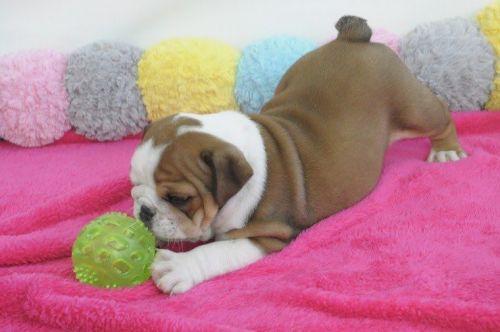 English Bulldog Puppies for sale in Wahpeton Indian School, Wahpeton, ND 58075, USA. price 300USD