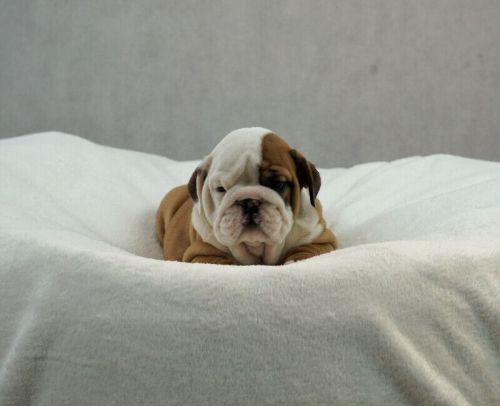 English Bulldog Puppies Sale | Houston Street, TX #6659