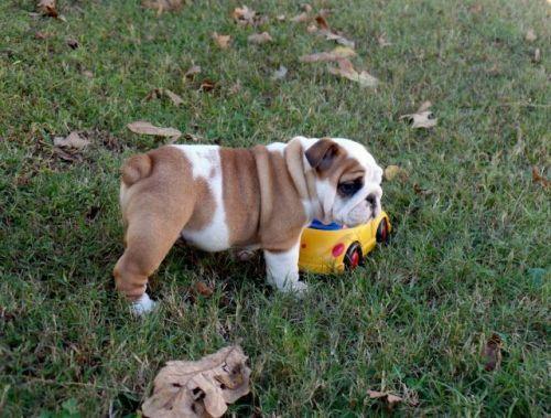 English Bulldog Puppies for sale in Edmonds, WA, USA. price 950USD