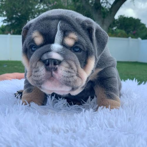 English Bulldog Puppies for sale in Edmonds, WA, USA. price 800USD