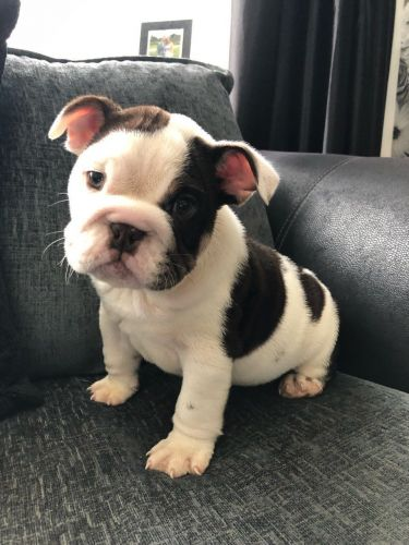 English Bulldog Puppies for sale in Los Angeles, CA, USA. price 600USD