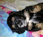 English Cocker Spaniel Puppies for sale in Frazee, MN 56544, USA. price 600USD