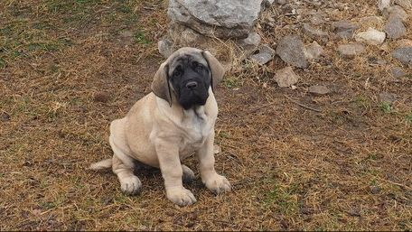 English Mastiff Puppies for sale in Beverly Hills, CA, USA. price -USD