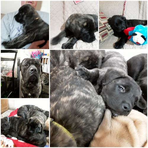 English Mastiff Puppies for sale in Andover, MN 55304, USA. price 1200USD