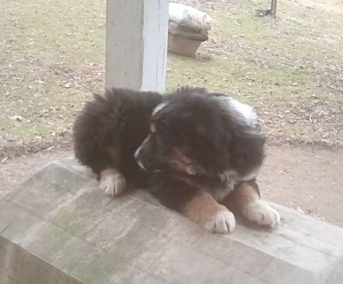 English Shepherd Puppies for sale in Greencastle, IN 46135, USA. price 350USD