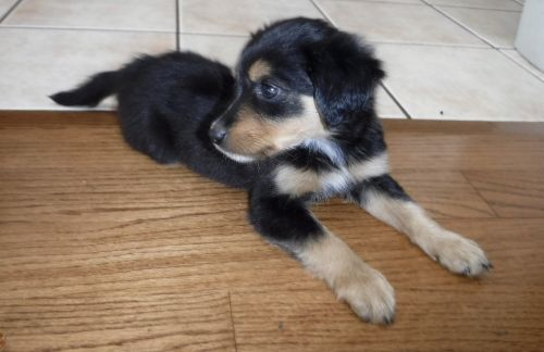 English Shepherd Puppies for sale in North Judson, IN 46366, USA. price 300USD