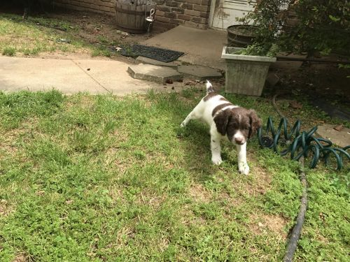 Springer Spaniel For Sale Petfinder
