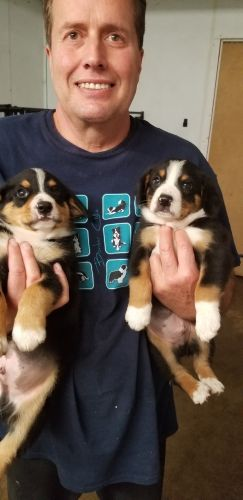 Entlebucher Mountain Dog Puppies for sale in Allendale Charter Twp, MI, USA. price 800USD