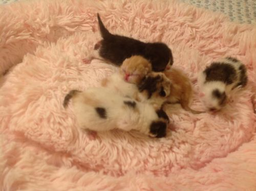 Exotic Shorthair Cats for sale in Surprise Farms, Surprise, AZ, USA. price 895USD