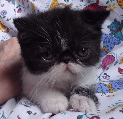 Exotic Shorthair Cats for sale in Salem, IN 47167, USA. price 500USD