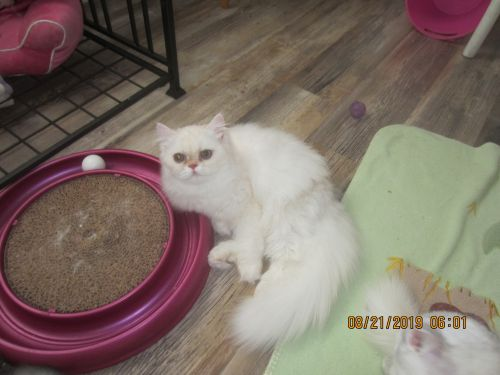 Exotic Shorthair Cats for sale in Englewood, FL, USA. price 575USD