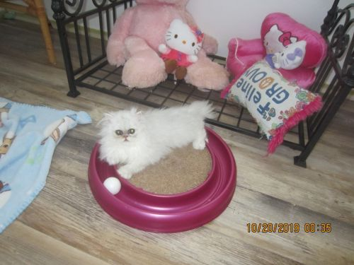 Exotic Shorthair Cats for sale in Englewood, FL, USA. price -USD