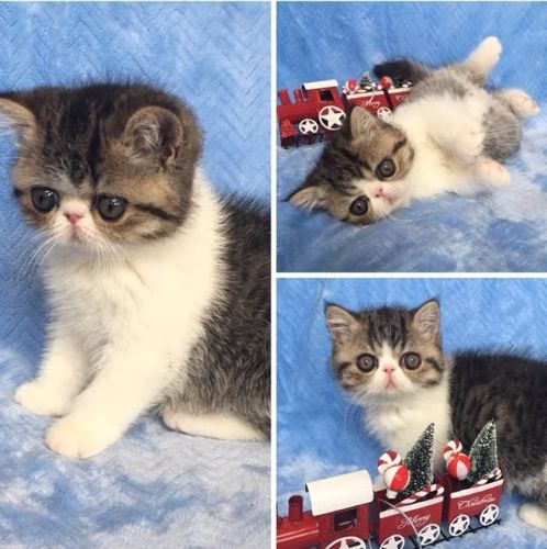 Exotic Shorthair Cats for sale in Tafton, PA 18464, USA. price 1850USD