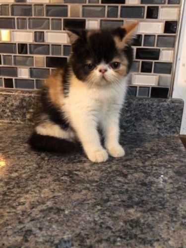 Exotic Shorthair Cats for sale in Brooklyn, NY, USA. price 800USD