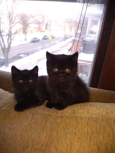 Exotic Shorthair Cats for sale in Milwaukee, WI, USA. price 200USD