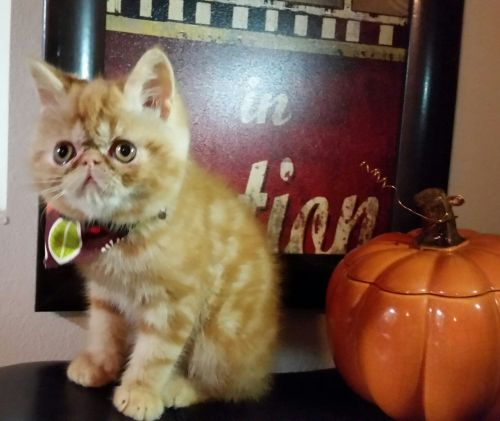 Exotic Shorthair Cats for sale in Fayetteville, AR, USA. price 750USD
