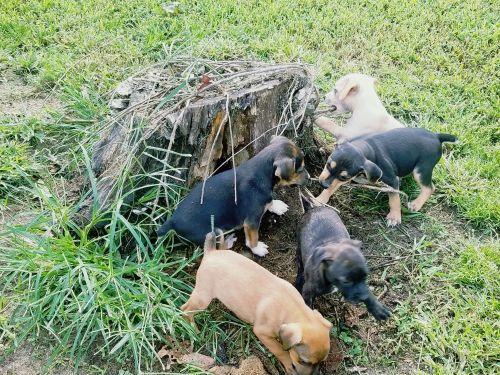Feist Puppies for sale in Farmington, MO 63640, USA. price 250USD