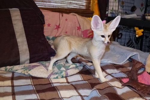 Fennec Fox Animals for sale in Beverly Hills, CA, USA. price -USD