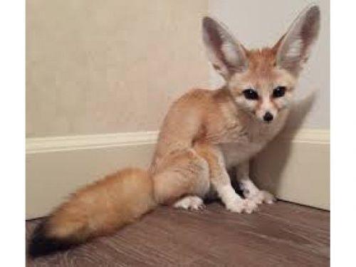 Fennec Fox Animals for sale in Chicago, IL 60603, USA. price 500USD