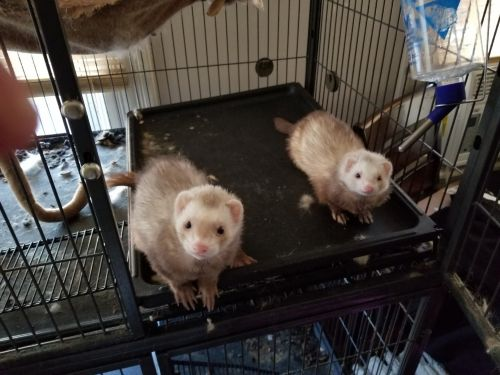 Ferret Animals for sale in West Springfield, MA, USA. price 300USD