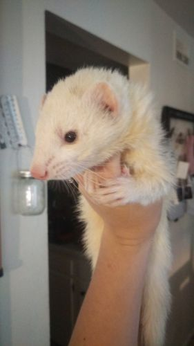 Ferret Animals for sale in Fairborn, OH 45324, USA. price 250USD