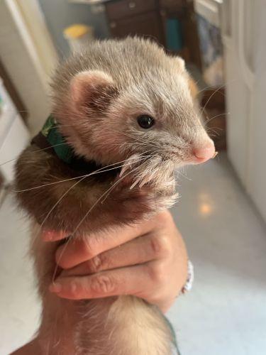 Ferret Animals for sale in Grosse Pointe, MI, USA. price 100USD