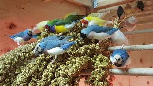 Finch Birds for sale in Whittier, CA, USA. price 95USD