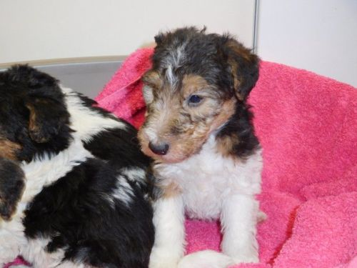 Fox Terrier Puppies for sale in Boise, ID 83756, USA. price 500USD