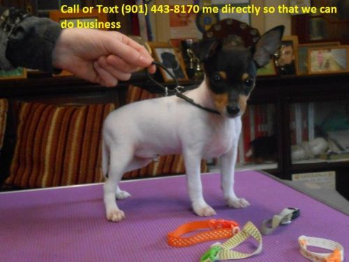 Fox Terrier Puppies for sale in Fresno, CA, USA. price -USD
