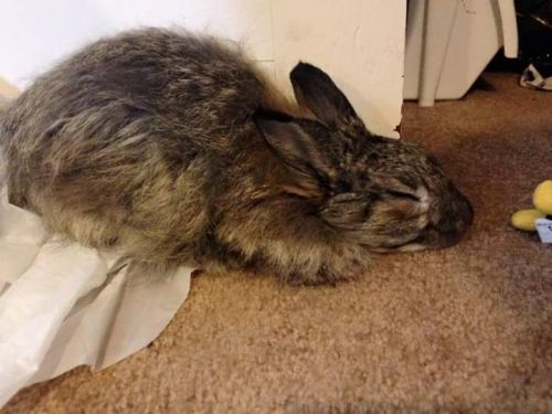 French Angora rabbit Rabbits for sale in Lancaster, OH 43130, USA. price 60USD