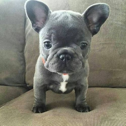 French Bulldog Puppies for sale in America City, KS 66540, USA. price 600USD