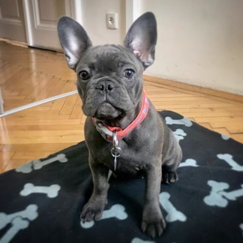 French Bulldog Puppies for sale in Mexico, ME, USA. price 600USD