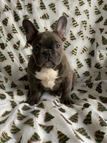 French Bulldog Puppies Sale Selinsgrove Pa 1366