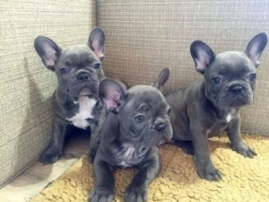 Puppies Sale Wisconsin | Hoobly US