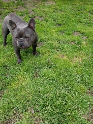 French Bulldog Sale Virginia | Hoobly US