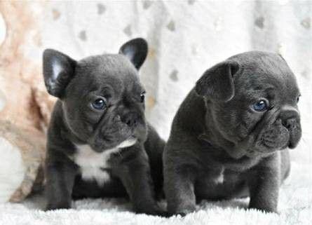 French Bulldog Puppies Sale | Norfolk, VA #4119 | Hoobly US