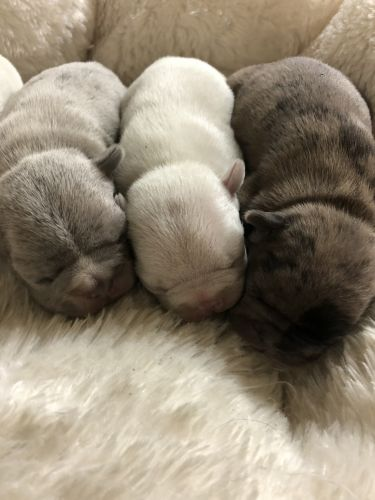 French Bulldog Puppies for sale in Charleston, WV, USA. price -USD
