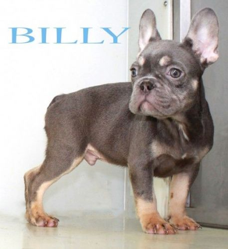 French Bulldog Puppies for sale in Portland, OR, USA. price -USD